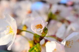 花,春,桜,景色,草木,日中,さくら