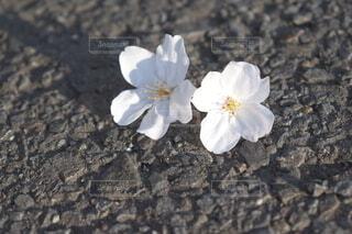 花,春,桜,地面,草木,さくら,ウィンドフラワー