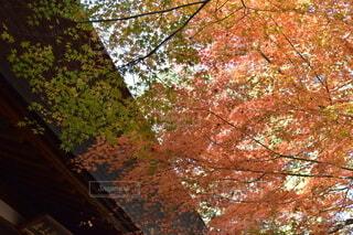 空,秋,紅葉,屋外,葉,もみじ,樹木,落葉,草木