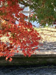 秋,紅葉,屋外,緑,赤,川,水面,葉,樹木,楓,嵐山,草木,カエデ