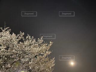 空,花,春,桜,屋外,夜桜,月,満月,和,和風,夜撮影,白い桜,夜桜と月