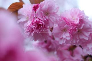 花,桜,ピンク,白,バラ,花びら,薔薇,草木,ブルーム,ブロッサム