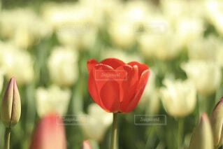 花,赤,チューリップ,恋,レッド,草木,告白,花言葉,フローラ