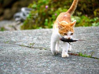 猫,動物,魚,屋外,野良猫,地面,お魚咥えたドラ猫