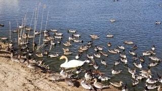 風景,動物,鳥,屋外,湖,水面,群れ,沼