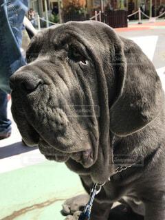 犬,動物,ブルドッグ,屋外,晴れ,黒,野外,たれ耳,探す,たるみ