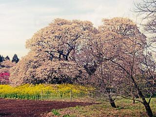 空,花,桜,屋外,菜の花,景色,草,樹木,コントラスト,草木