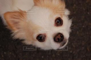 犬,動物,チワワ,屋内,屋外,白,かわいい,散歩,景色,ペット,小さい,子犬,ロングコートチワワ,目,見つめる,ホワイト,1歳,探す,小型