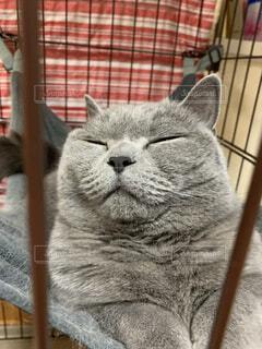 猫,動物,子猫,座る,グレー,髭,ストライプ,ネコ科,#可愛い猫,#ブリテッシュ