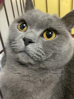猫,動物,屋内,黄色,子猫,グレー,目,探す