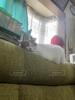 猫,動物,屋内,景色,ソファ