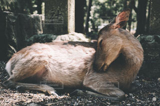 リラックスした鹿の写真・画像素材[4362880]