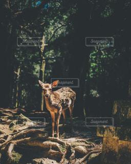 鹿の写真・画像素材[4362940]