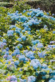 紫陽花の写真・画像素材[4559822]
