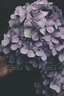 紫陽花の写真・画像素材[4559824]