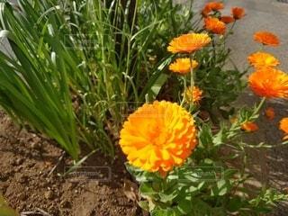 自然,花,緑,オレンジ,土,地面,カラー,草木,フローラ,草本植物