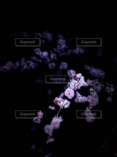 闇に浮かぶ梅の花の写真・画像素材[4363336]