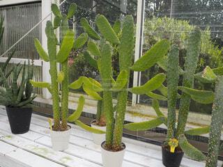 緑,植物,植木鉢,温室,サボテン,観葉植物,多肉植物,草木,日中,ガーデン,にょきにょき