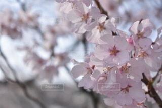 花,草木,さくら,ブルーム,ブロッサム,ワックス工場