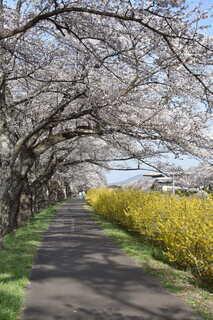 自然,花,屋外,樹木,草木,ウィロー