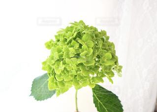 空,花,屋外,緑,雲,あじさい,葉,野菜,樹木,紫陽花,梅雨,草木,花屋,緑の紫陽花