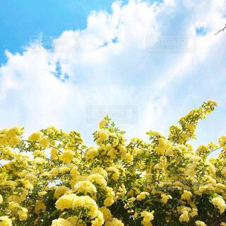 空,花,春,屋外,雲,晴れ,黄色,水色,薔薇,樹木,草木,春の空