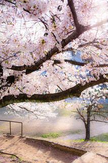 花,春,樹木,草木,さくら,ブロッサム