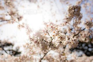 花,春,桜,屋外,ブロッサム