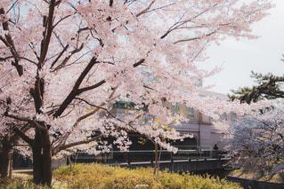 花,春,屋外,草,樹木,桜の花,さくら,ブロッサム
