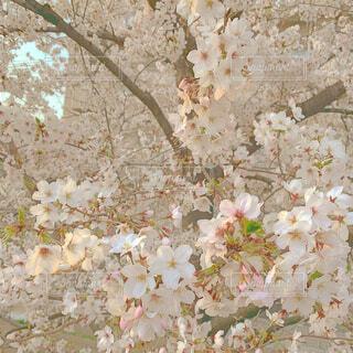 風景,花,春,桜,綺麗,景色,可愛い,Spring,ブロッサム