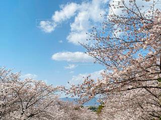 自然,空,春,屋外,ピンク,雲,青空,さくら