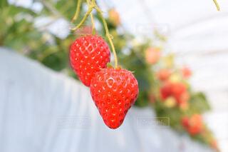 食べ物,春,いちご,フルーツ,果物,ベリー,いちご狩り,ラズベリー,イチゴ,種なしの果実