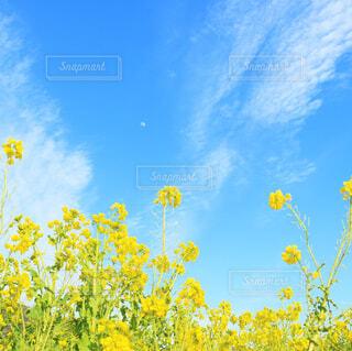 自然,空,花,春,雲,綺麗,青空,黄色,菜の花,鮮やか,爽やか,月,リラックス,旅行,一眼,落ち着く,草木,おしゃれ,フォトジェニック