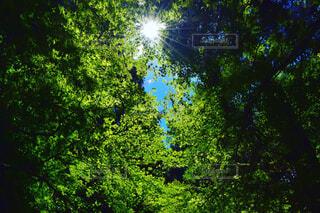 自然,風景,空,夏,森林,木,屋外,太陽,青空,葉,木漏れ日,爽やか,樹木,リラックス,癒し,森林浴,草木,日,フォトジェニック,上を見上げて