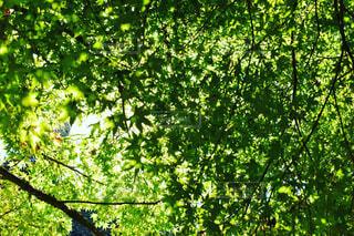 夏,屋外,緑,散歩,葉,木漏れ日,樹木,森林浴,草木,上を見上げて