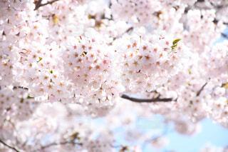 食べ物,花,春,桜の花,さくら,ブロッサム