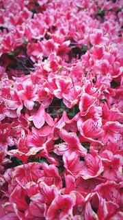 花,ピンク,赤,草木,ブルーム,ブロッサム,フローラ