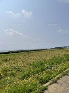 自然,風景,空,花,春,屋外,草原,ひまわり,雲,晴れ,沖縄,田舎,草,畑,農道,草木,伊計島