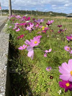 自然,風景,空,花,春,屋外,ピンク,コスモス,雲,沖縄,草,草木,金武