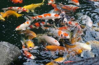 鮮やかな鯉達。の写真・画像素材[4383861]