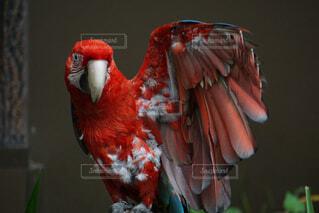 動物,鳥,鮮やか,オシャレ,カラー,ベニコンゴウインコ