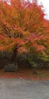 秋,絵画,草木,カエデ,図面