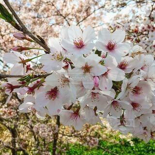 空,花,春,屋外,草木,桜の花,さくら,ブルーム,ブロッサム