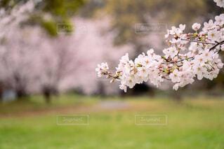 花,春,桜,屋外,草,草木,ブロッサム,チェリーブラッサム
