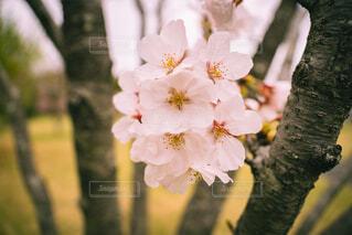 花,春,桜,屋外,樹木,草木,ブロッサム,チェリーブラッサム