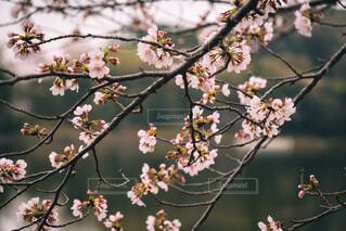 花,春,桜,屋外,湖,枝,樹木,草木,さくら,ブロッサム,支店
