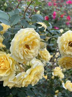 黄色のバラの写真・画像素材[4461114]
