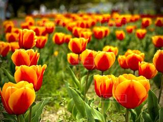 花,春,チューリップ,ビタミンカラー