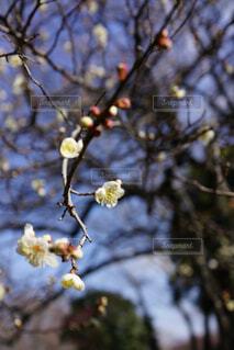 梅の枝先に春の日差しの写真・画像素材[4367556]
