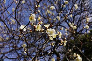 咲いたり蕾だったりの写真・画像素材[4367558]